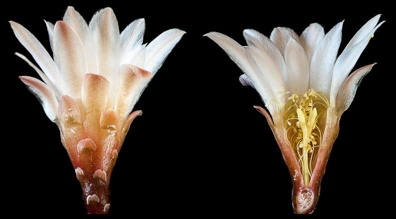 Gymnocalycium chacoense