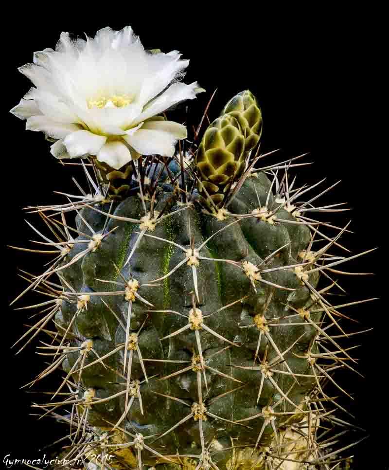Gymnocalycium gibbosum ssp gibbosum (chubutense)