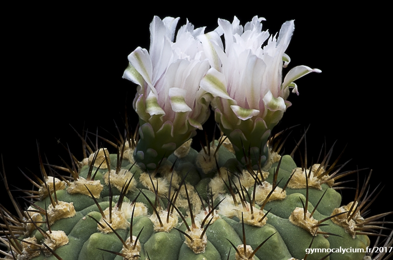 Gymnocalycium pflanzii ssp zegarrae (comarapense)