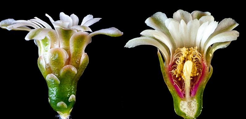 Gymnocalycium curvispinum