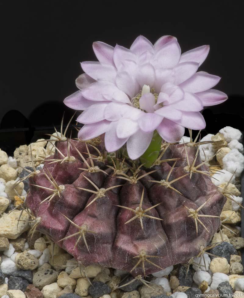 Gymnocalycium damsii v. tucavocenser L 361