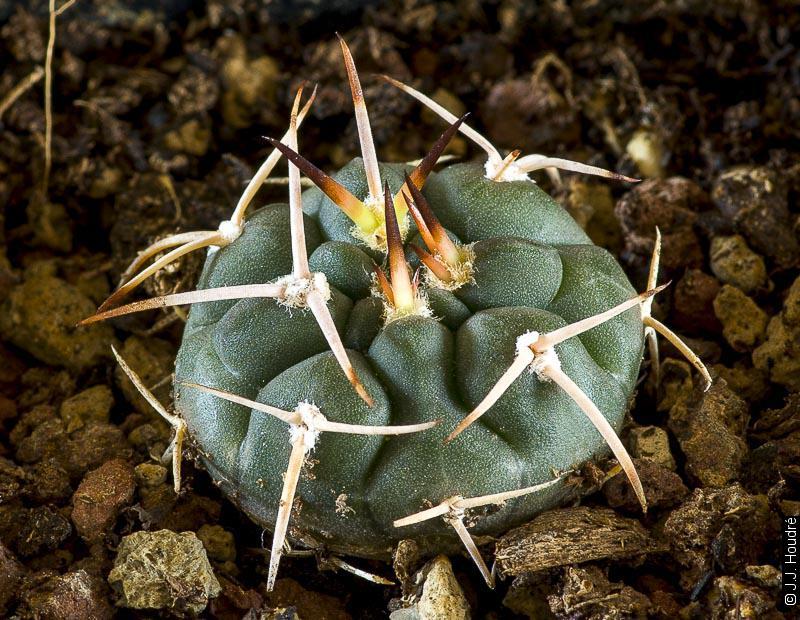 Gymnocalycium demetianum