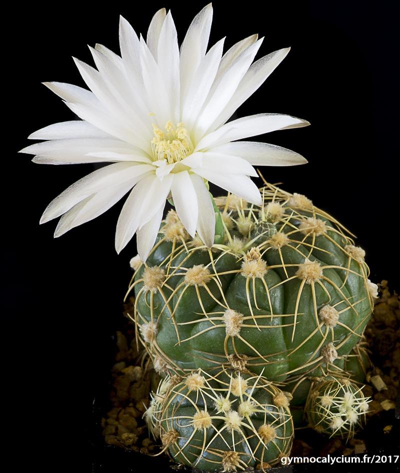 Gymnocalycium denudatum ssp angulatum GF 302.