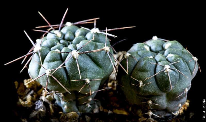 Gymnocalycium dubniorum JPR 68-154