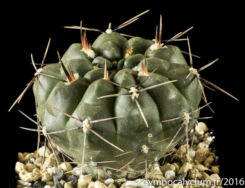 Gymnocalycium dubniorum JPR 92-68/154