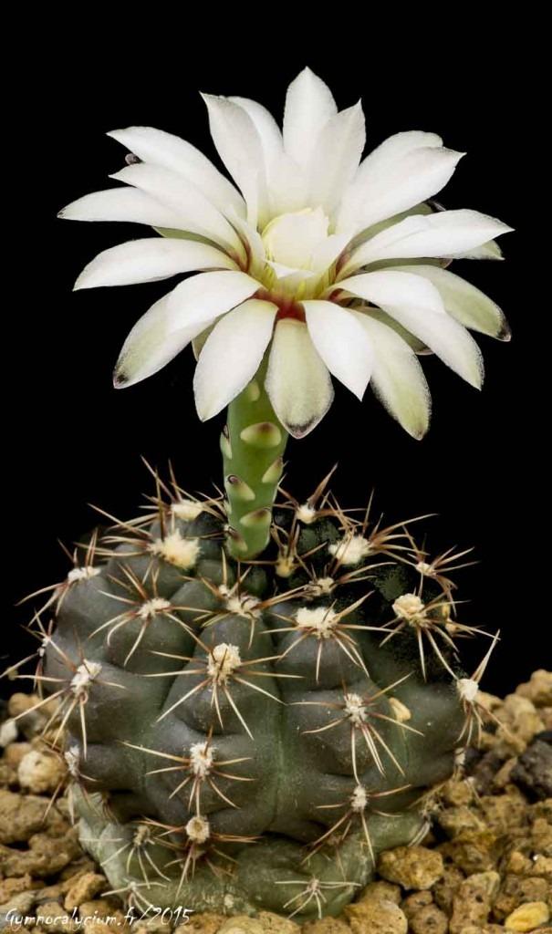 Gymnocalycium schroederianum v. boessii (erolesii).