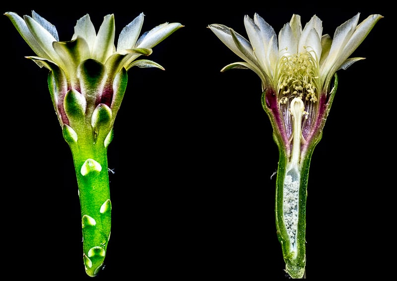 Gymnocalycium erolesii