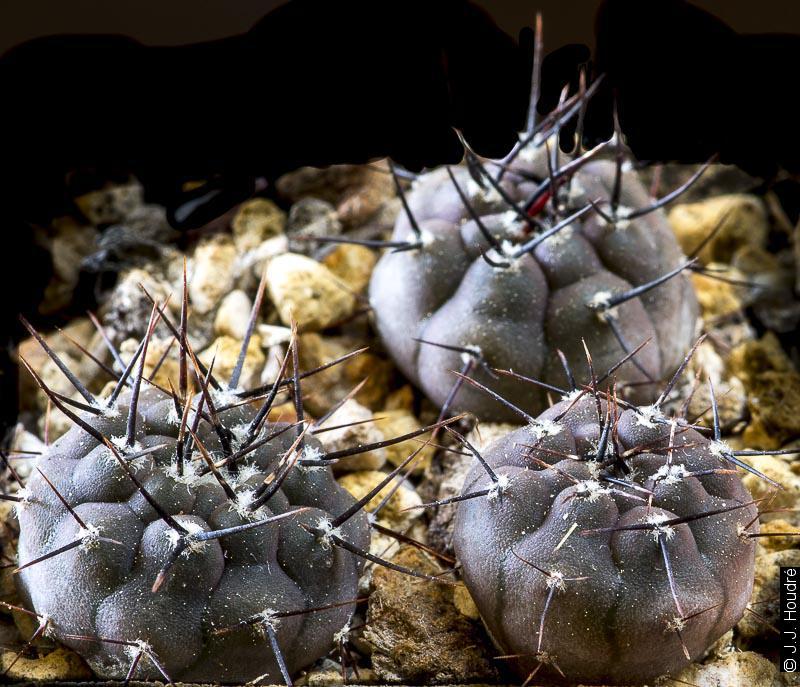 Gymnocalycium esperanzae MM 1257