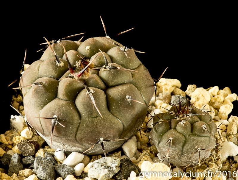 Gymnocalycium esperanzae MM 1258