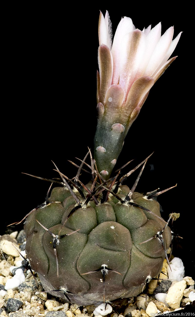 Gymnocalycium esperanzae MM 1258. Même sujet à 3 ans.