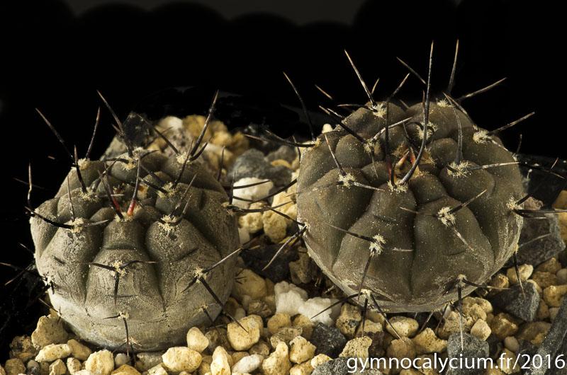 Gymnocalycium esperanzae Tom 436-1