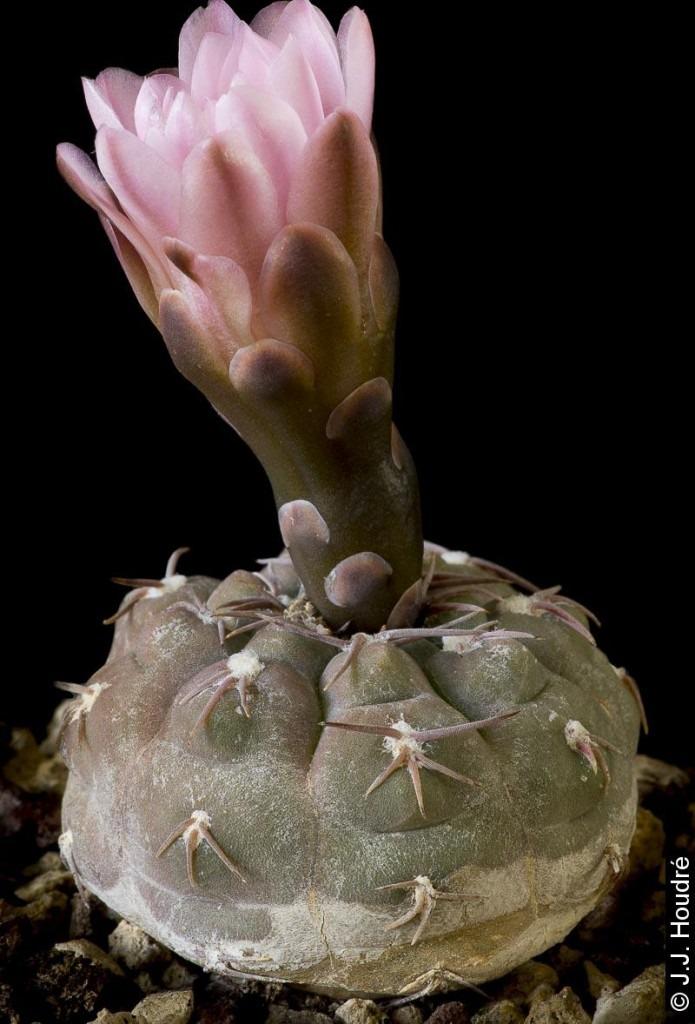 Gymnocalycium ferrarii v. elegans WR 718a