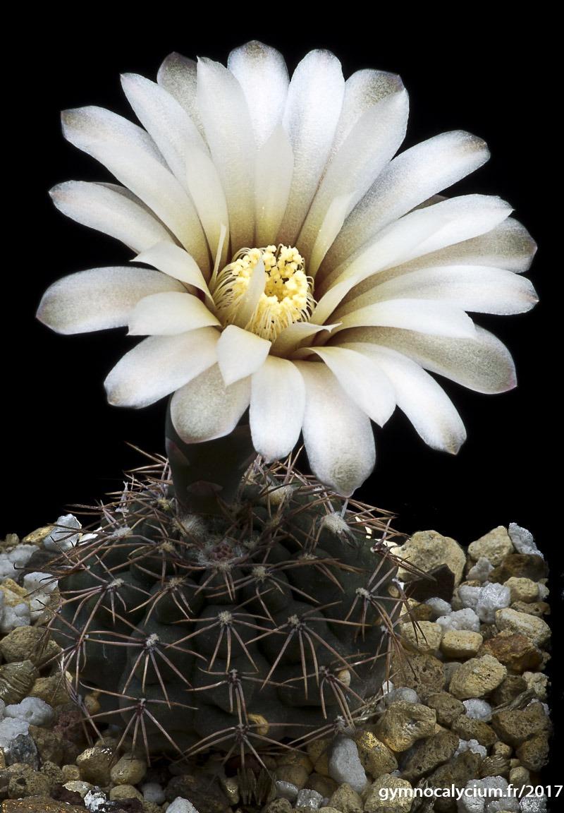 Gymnocalycium kieslingii ssp frankianum aff. VoS 10-810.