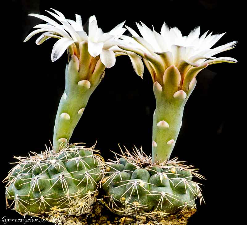Gymnocalycium kieslingii ssp frankianum aff. Vos 10-810