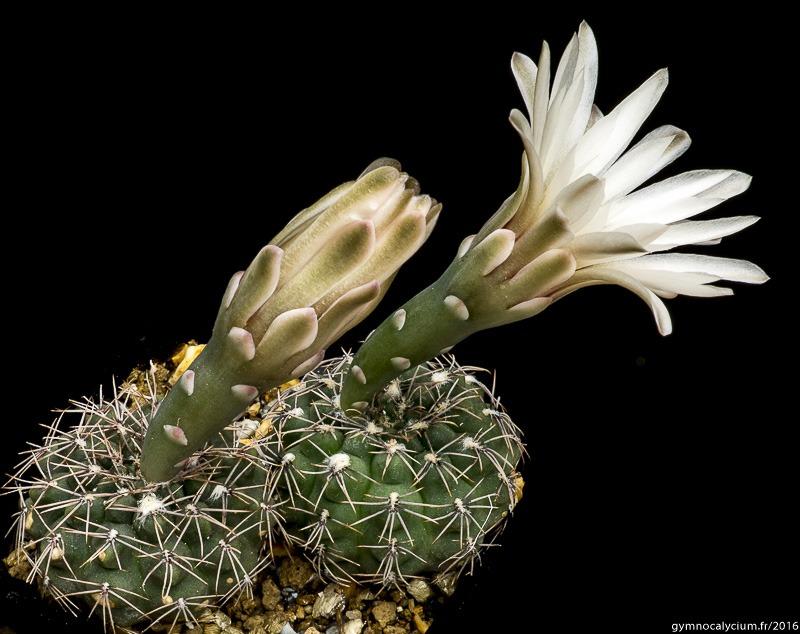 Gymnocalycium kieslingii ssp frankianum aff. VoS 10-810. Mêmes sujets à 6 ans.