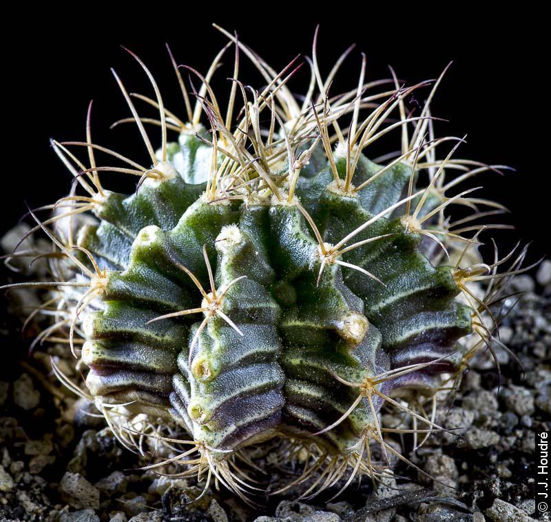 Gymnocalycium friedrichii v. bolivianum VOS 61 renommé en Gymnocalycium mendozaense