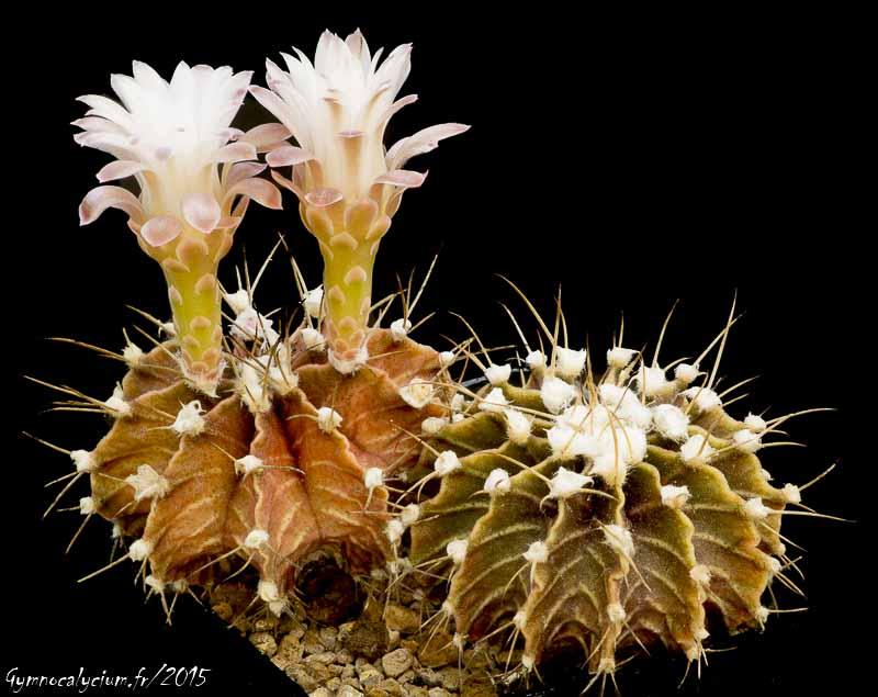 Gymnocalycium friedrichii v. mozerianum P 435.