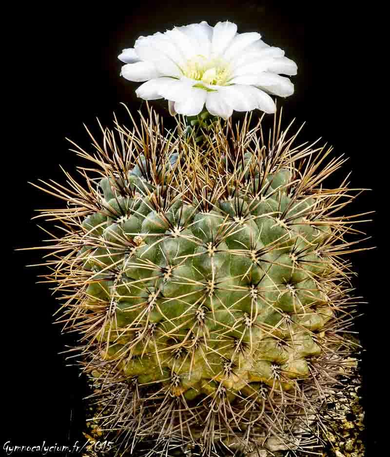 Gymnocalycium reductum v. leucodictyon (gibbosum v. caespitosum)