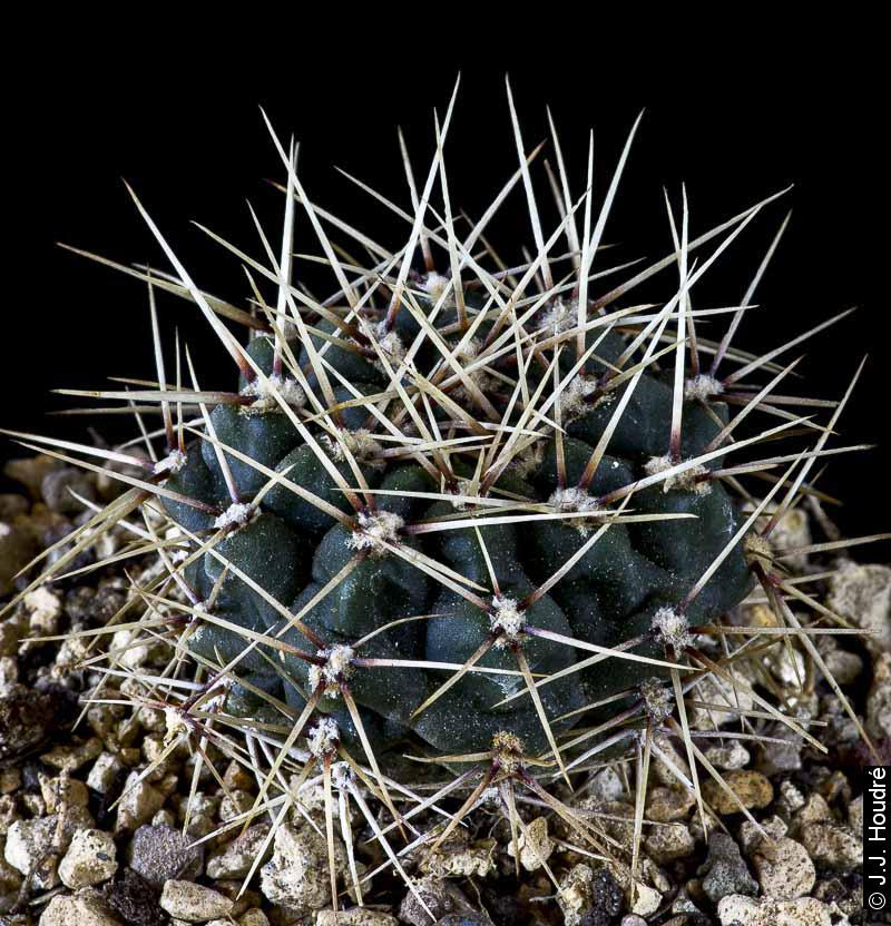 Gymnocalycium gibbosum ssp ferox JPR 54-121