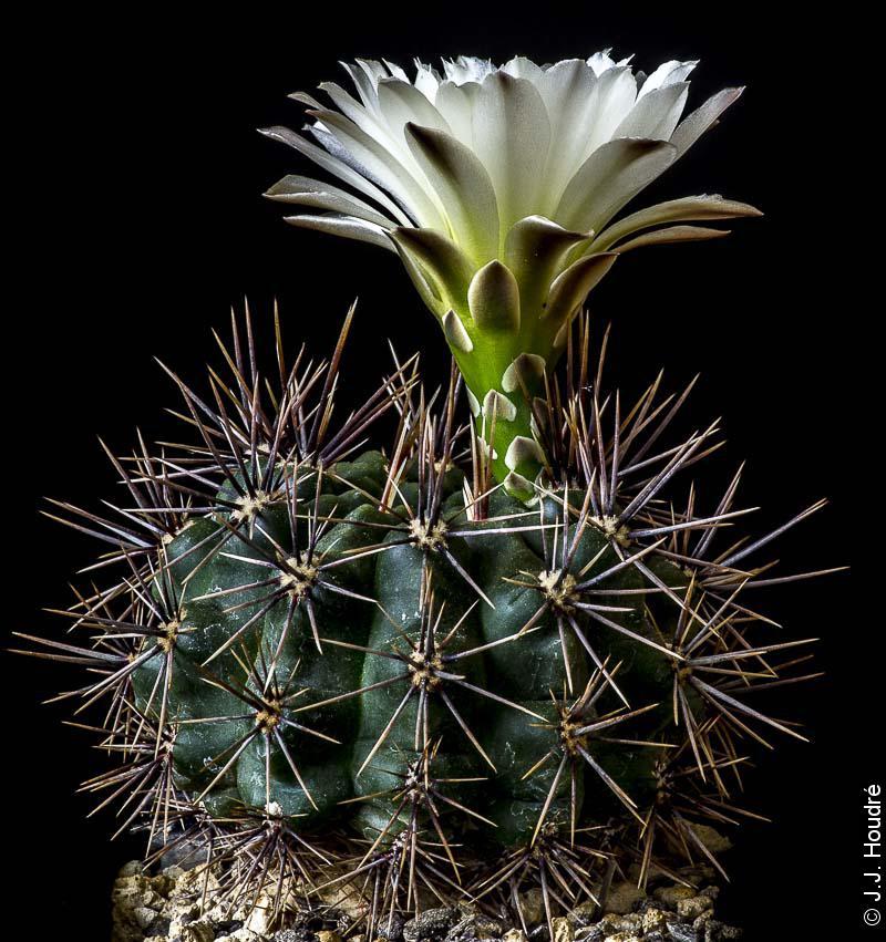 Gymnocalycium gibbosum ssp gastonii JPR 92-22/56