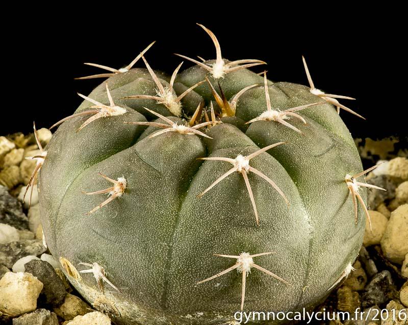 Gymnocalycium glaucum ssp ferrarii Vos 5-124