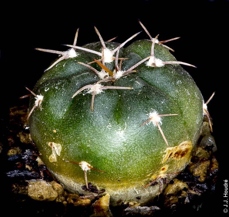 Gymnocalycium glaucum ssp ferrarii VoS 5-124. Sud de Villa Mazan, Route 10, La Rioja, Argentine