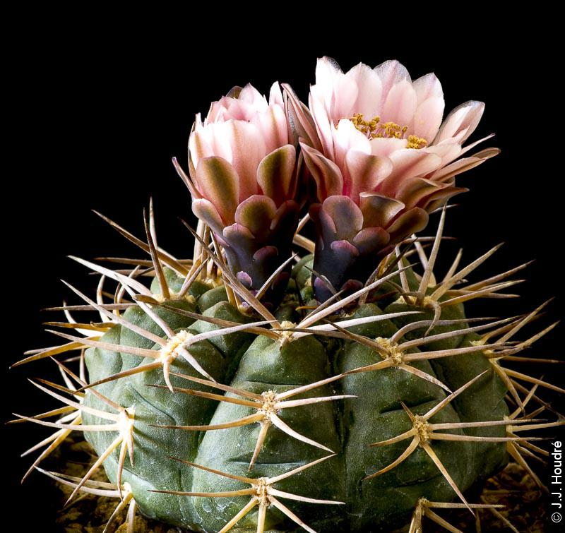 Gymnocalycium rhodantherum (guanchinense)
