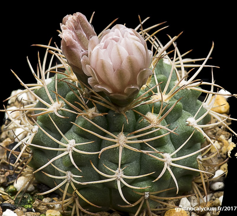 Gymnocalycium rhodantherum (guanchinense VS 39)