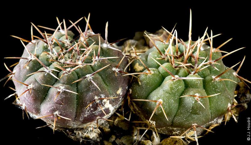 Gymnocalycium henissi v. van vlietii