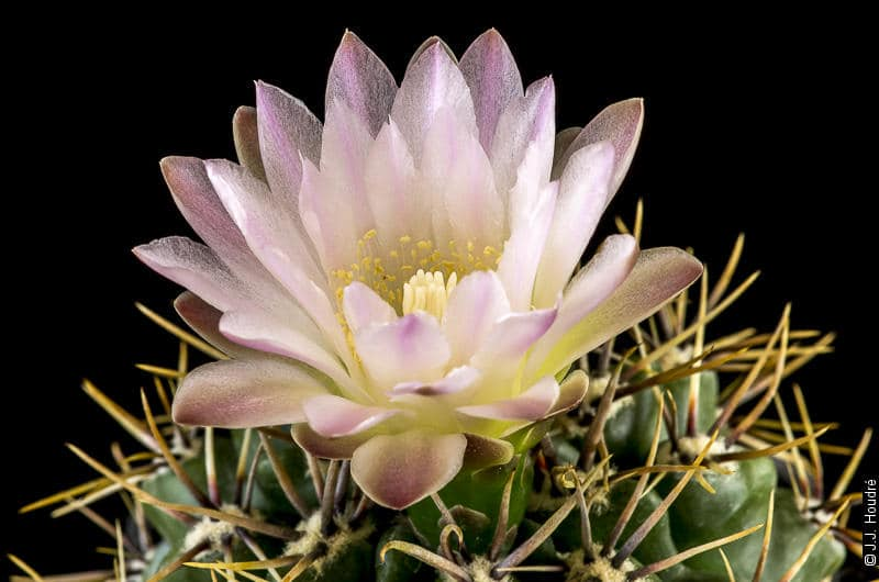 Gymnocalycium horridispinum ssp achirasense