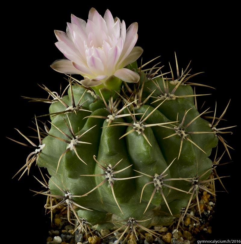 Gymnocalycium horridispinum ssp achirasense. Autre sujet du même semis à 10 ans.