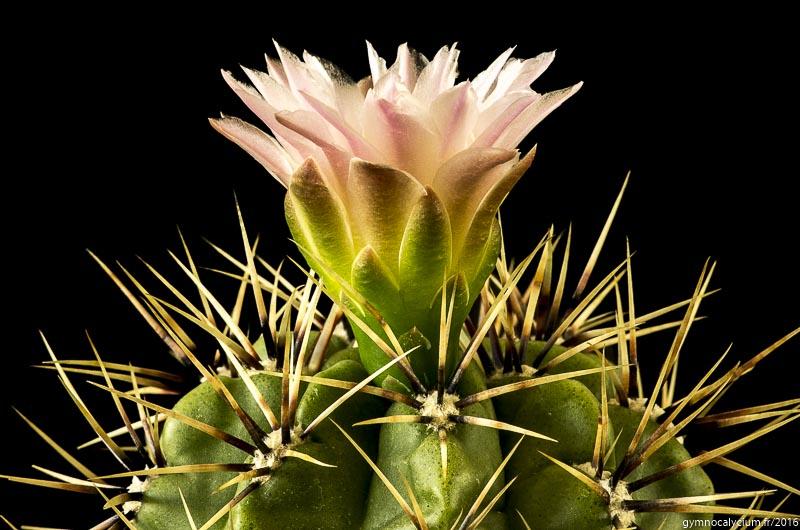 Gymnocalycium horridispinum ssp achirasense v. chacrasense LB 360. Même sujet détail.