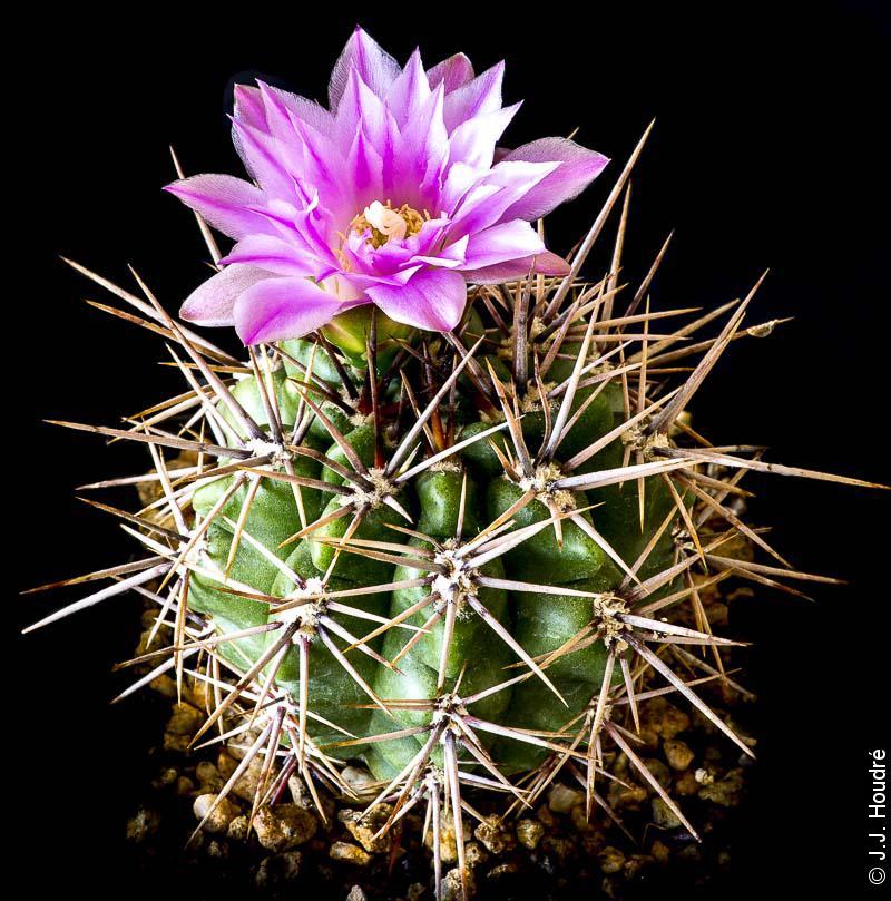 Gymnocalycium horridispinum ssp horridispinum GN 91-384/1286.