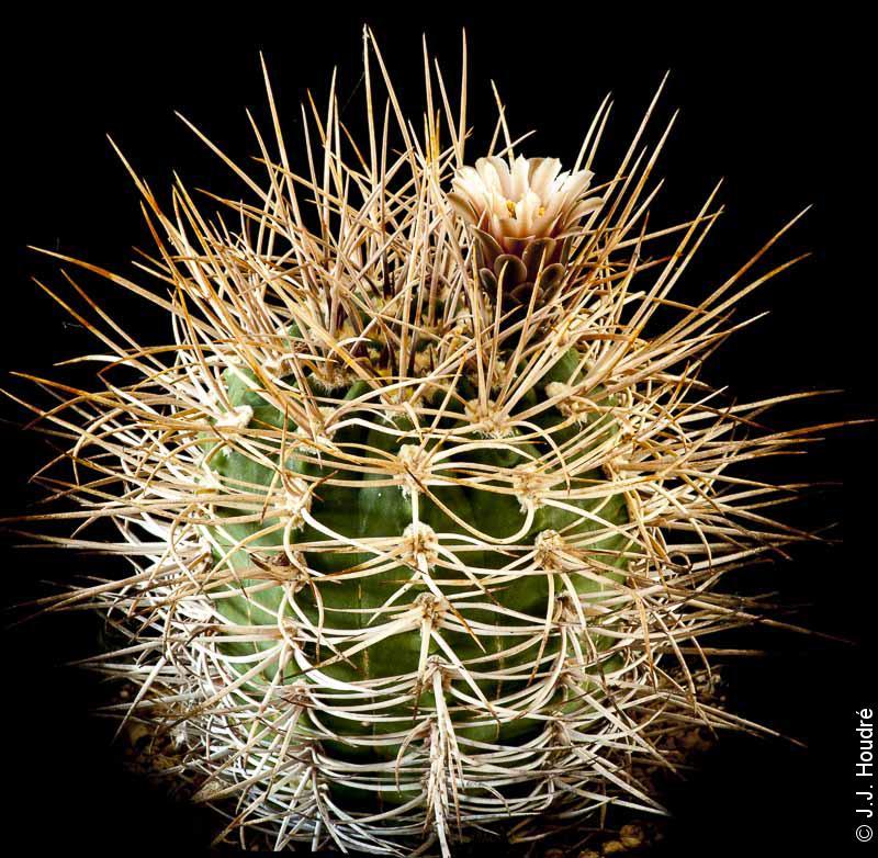 Gymnocalycium hossei v. polycephalum