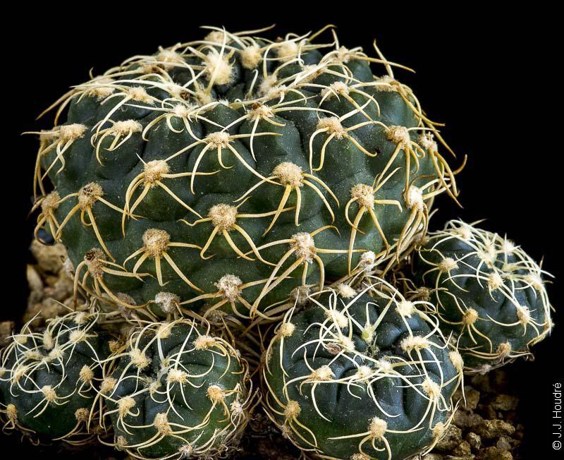 Gymnocalycium hyptiacanthum ssp uruguayense