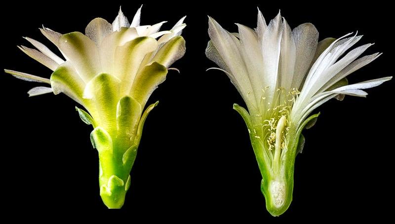 Gymnocalycium hyptiacanthum ssp uruguayense v. roseiflorum LB 651