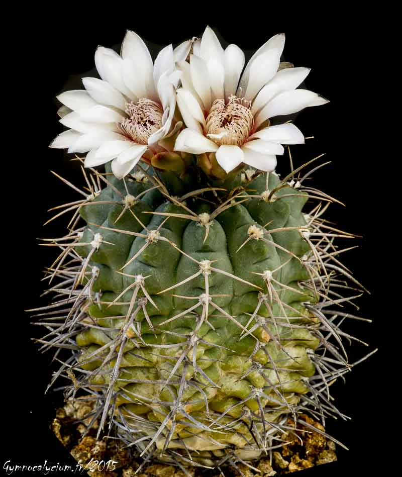 Gymnocalycium intermedium P 113.