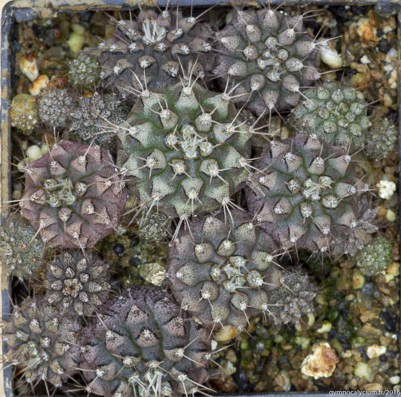 Gymnocalycium itatiquensis LB 4994. Ipitacuape, Santa Cruz, Bolivie, 1854 m.<br />Sujets de 6 mois issus d'un semis de graines L. Bercht réf. : 2016/2953.