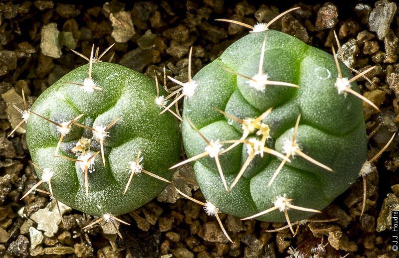 Gymnocalycium jochumii MM 305.