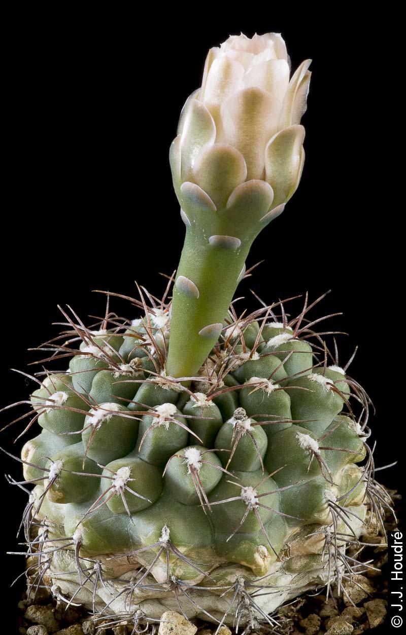 Gymnocalycium kieslingii fma albiareolatum