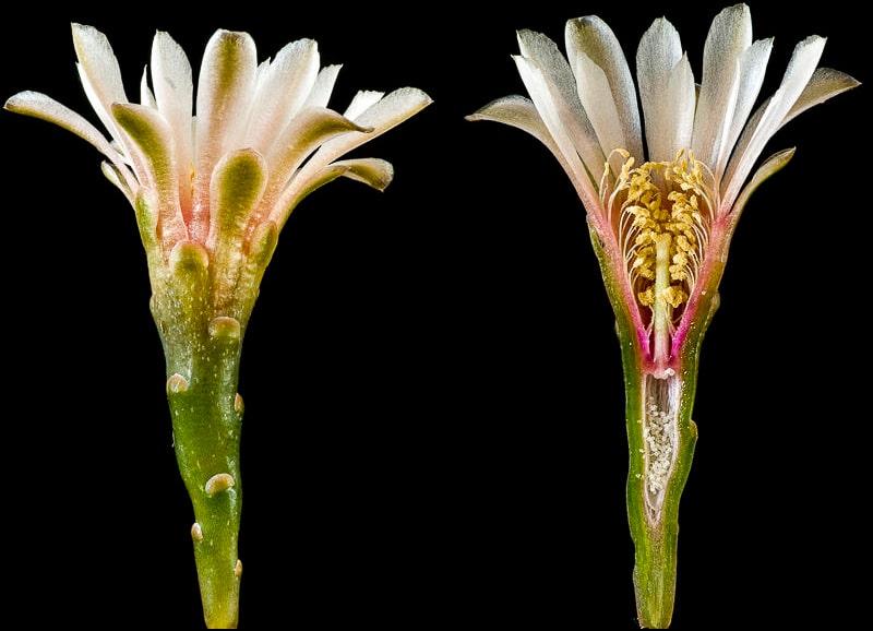 Gymnocalycium kieslingii ssp castaneum P 220