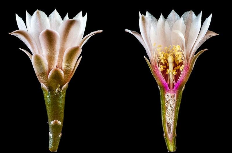 Gymnocalycium kieslingii ssp castaneum STO 179