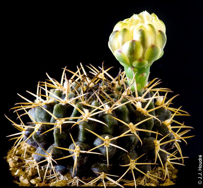Gymnocalycium knebelii