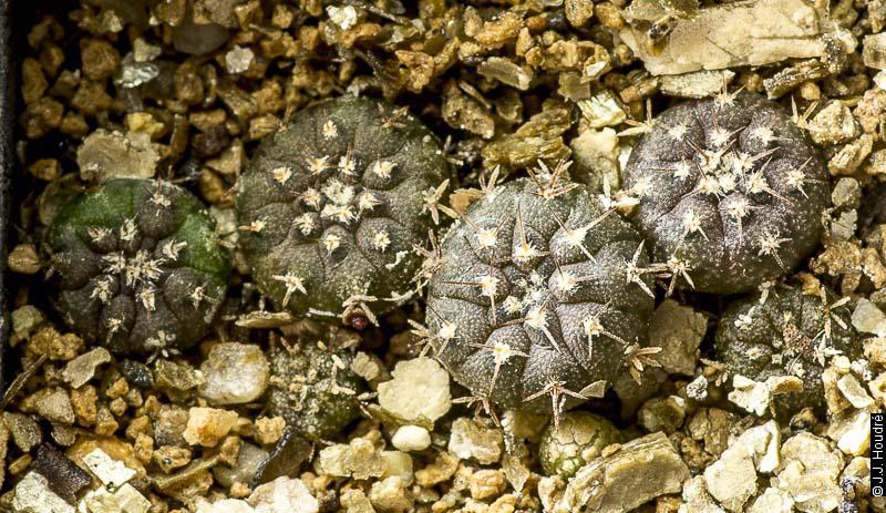 Gymnocalycium bodenbenderianum (riojense ssp kozelskyanum v. sanjuanense LB 423)