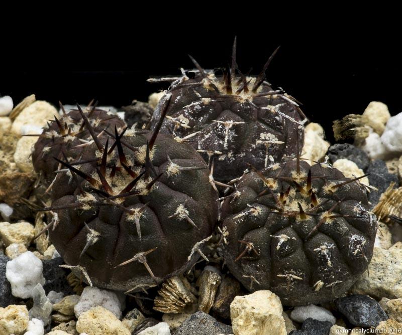 Gymnocalycium bodenbenderianum ssp kozelskyanum v. sanjuanense LB 423. Même sujet à 3 ans.
