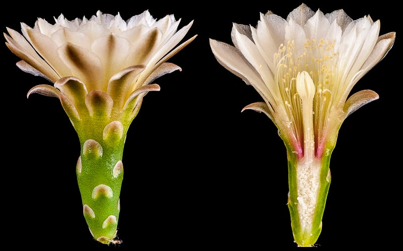 Gymnocalycium kroenleinii