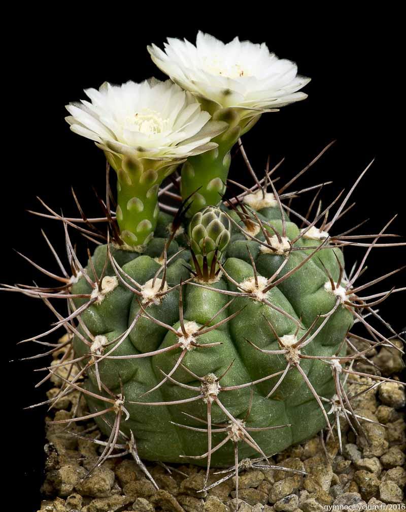 Gymnocalycium kroenleini. Autre sujet du même semis.