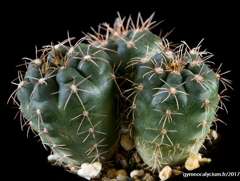 Gymnocalycium kroenleinii ssp funettae HV 1677