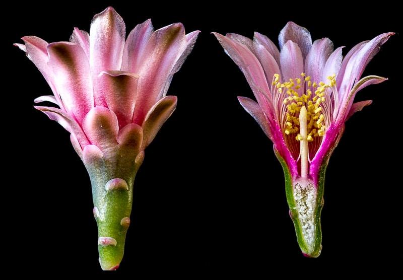 Gymnocalycium sutterianum ssp dolezalii (acheté sous le nom de G. lepidum P192). Coupe longitudinale d'une fleur.