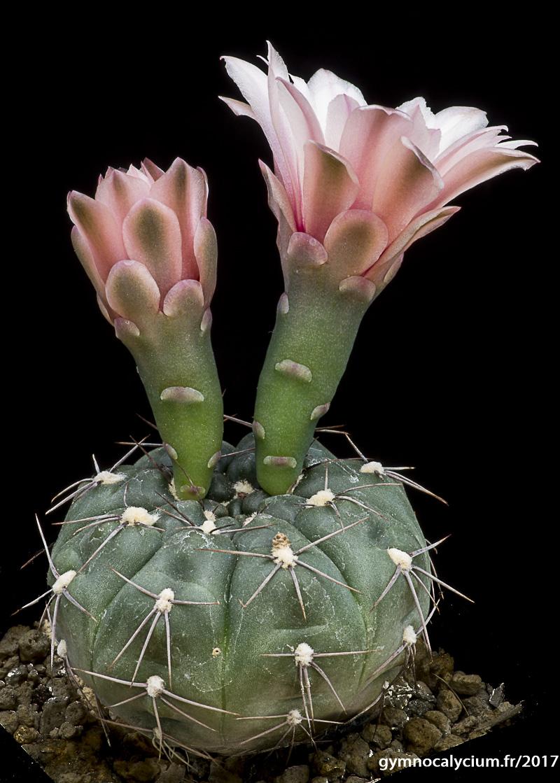 Gymnocalycium sutterianum ssp dolezalii (acheté sous le nom de G. lepidum P192).